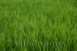 Asia Images Group - Close-up of Rice paddyfield, Thailand